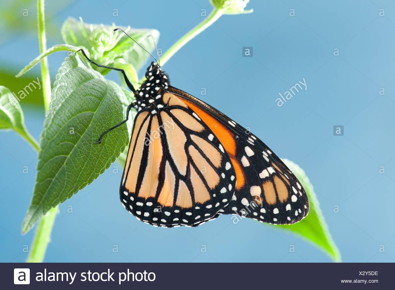 Monarch Butterfly Danaus plexippus North & Central America - Stock Image