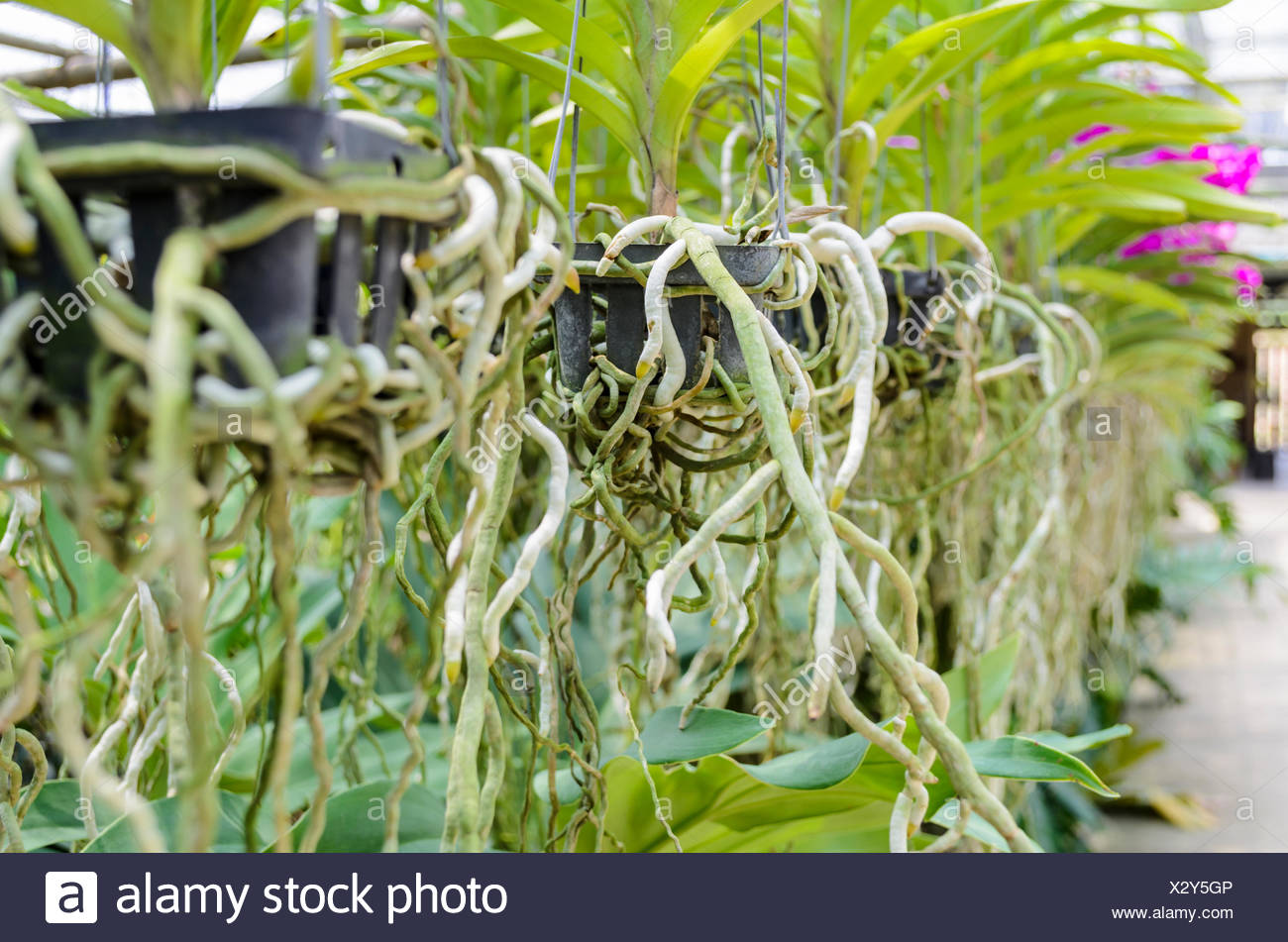 Orchid roots on plastic pot in plantation of Thailand, Low depth of field - Stock Image