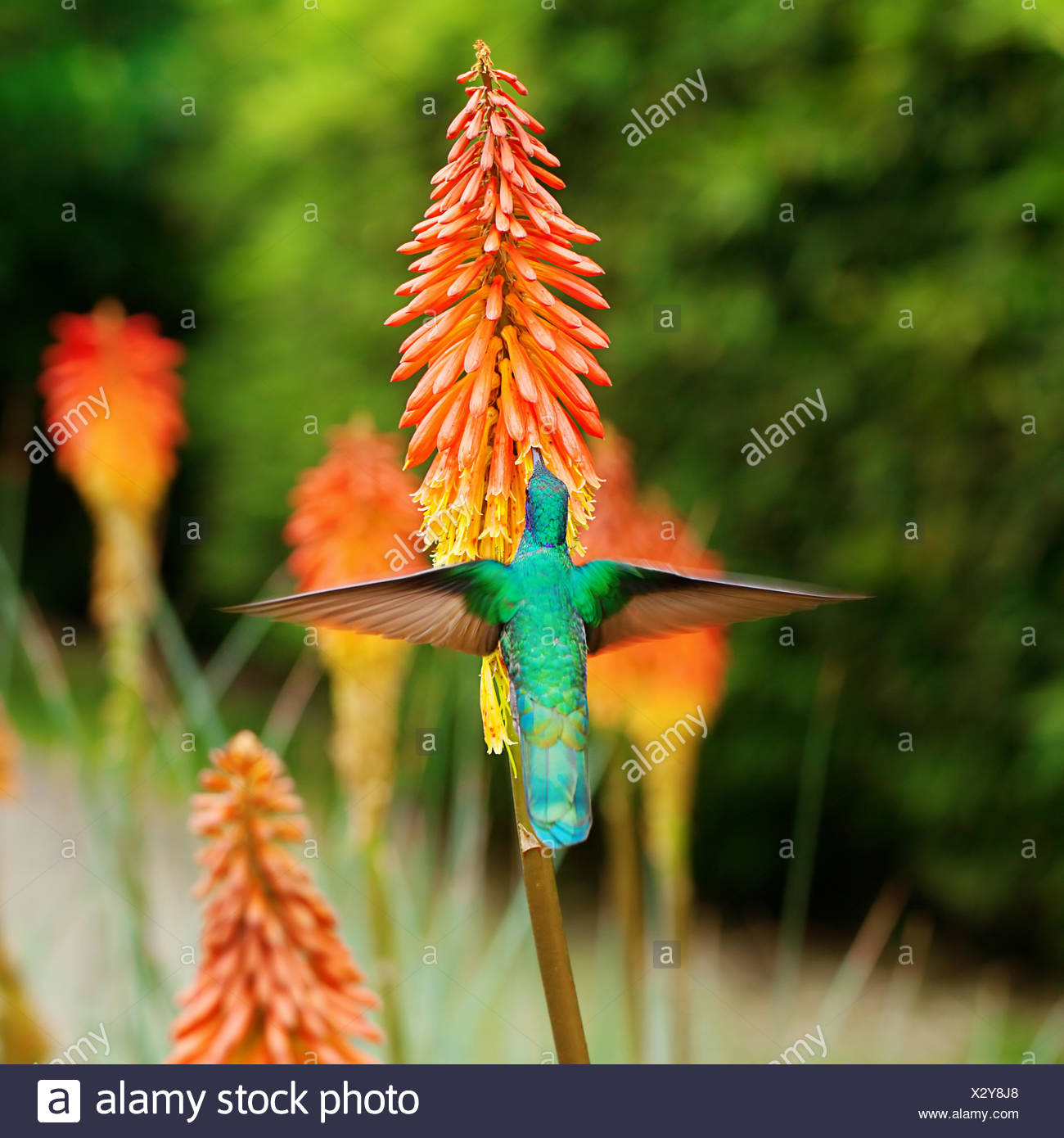 beautiful blue green hummingbird flying over a tropical orange f - Stock Image