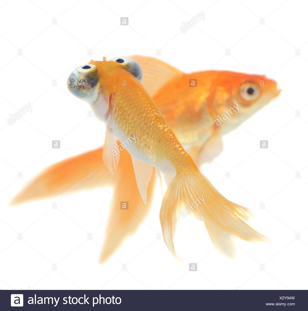 goldfish, common carp (Carassius auratus), comet and