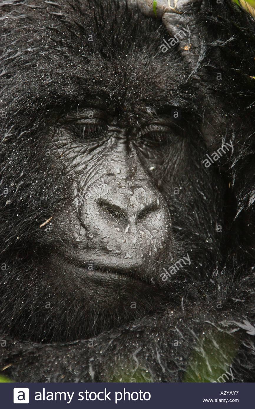 Mountain Gorilla, Volcanoes National Park, Rwanda - Stock Image