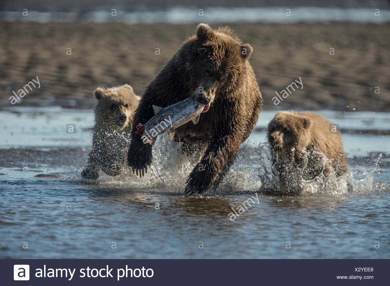 Brown Bear, Ursus arctos, and its two cub catching fish in water at Silver Salmon Creek Lodge. - Stock Image