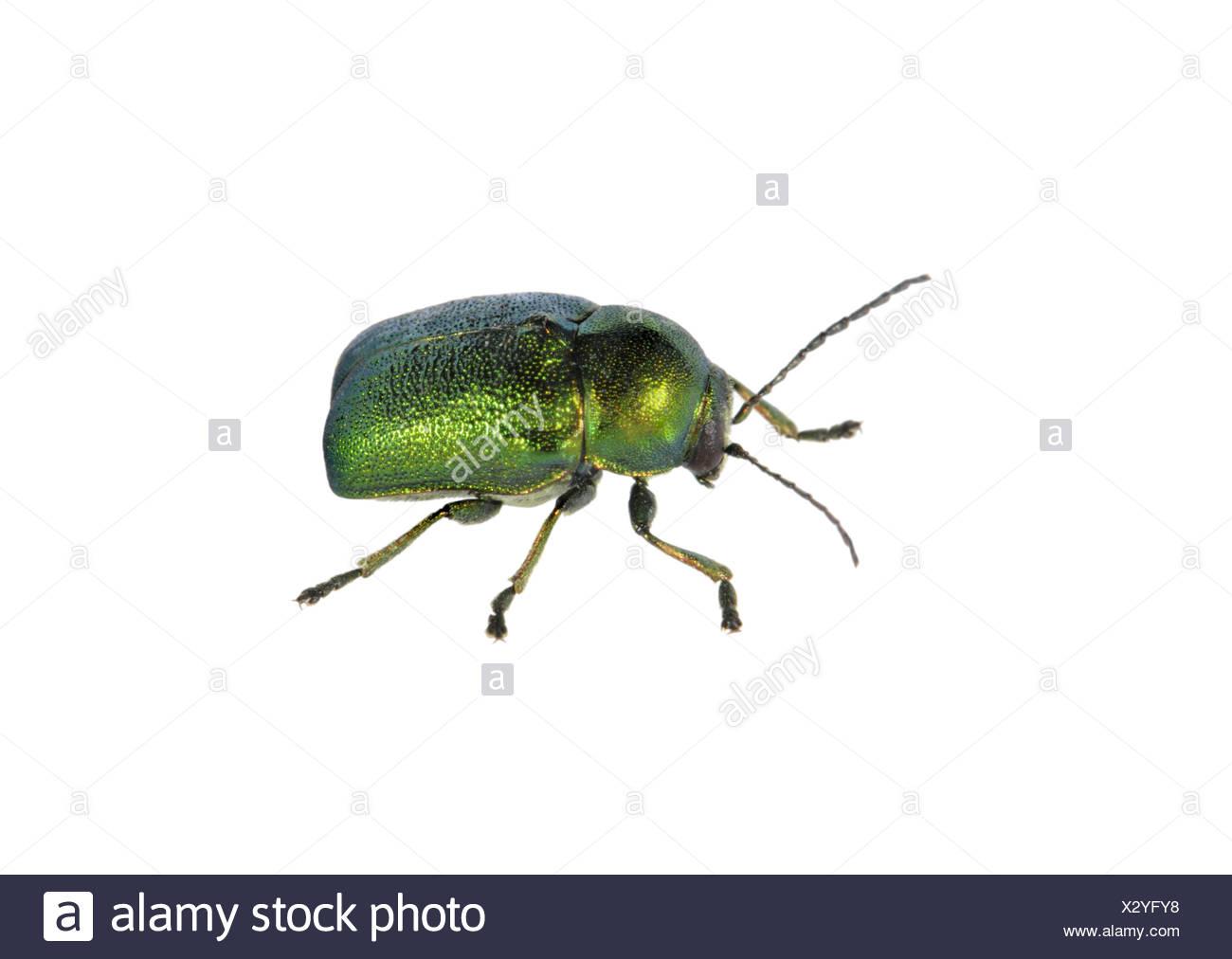 A leaf beetle - Cryptocephalus hypochaeridis - Stock Image