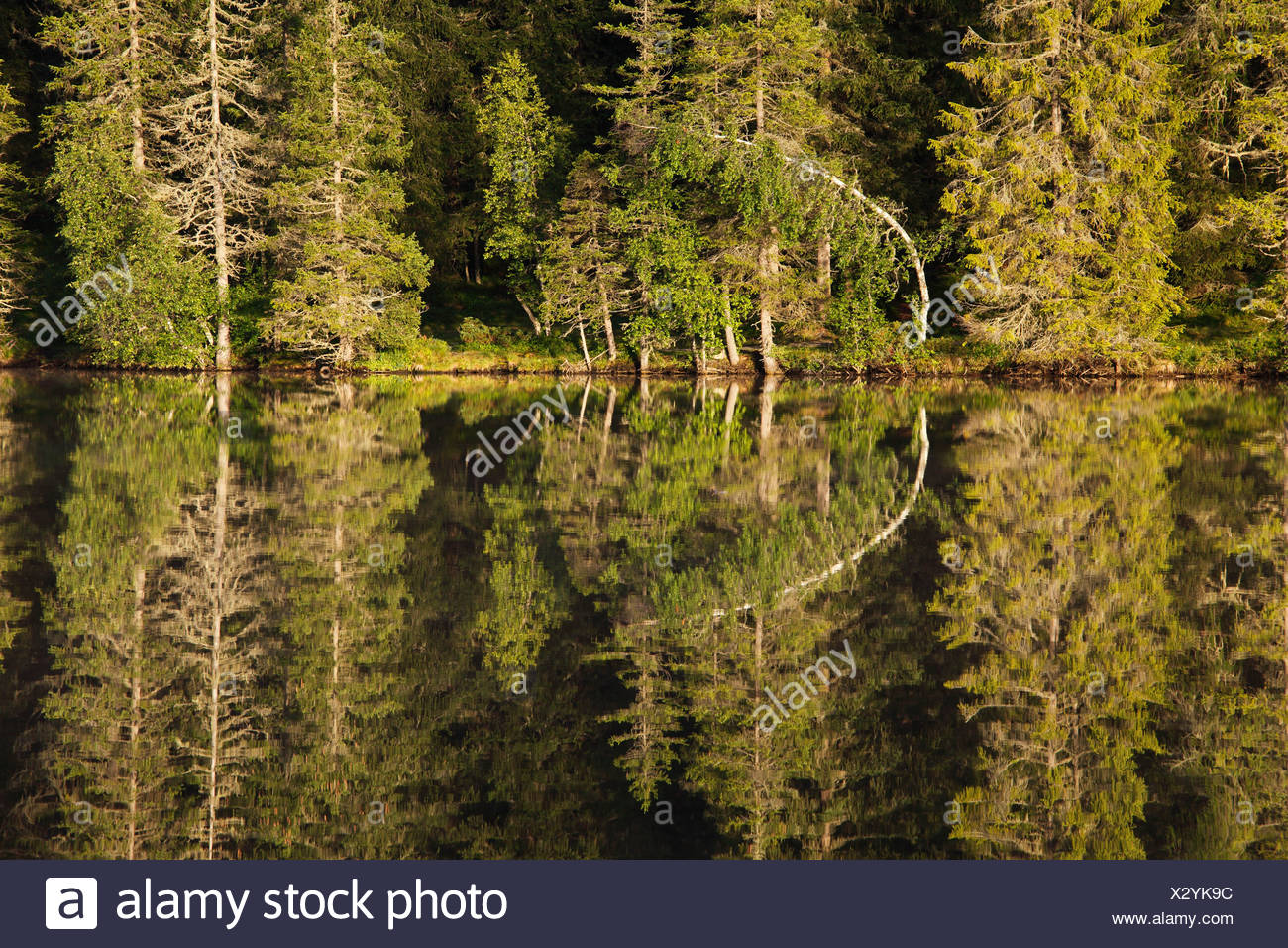 Prebersee Lake, coniferous forest on the lakefront, Lungau, Salzburg state, Austria, Europe - Stock Image