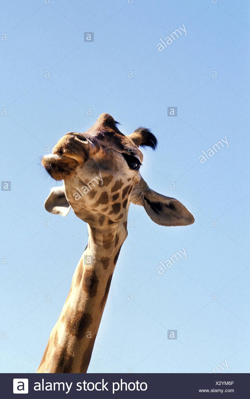 Rothschild's Giraffe,  giraffa camelopardalis rothschildi - Stock Image