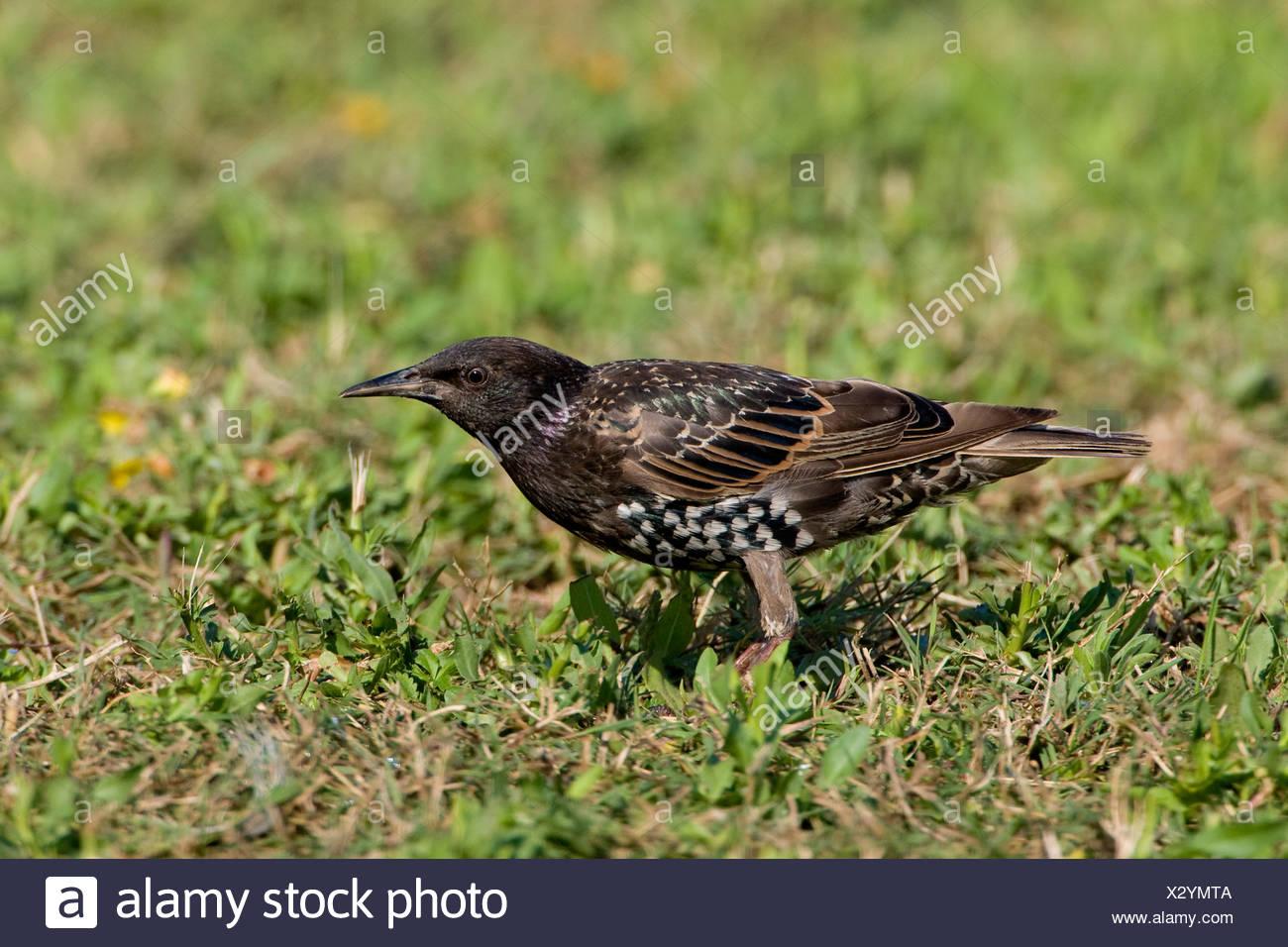 Een spreeuw in een veldje met bloemen.A Common Starling in a little field with flowers. - Stock Image