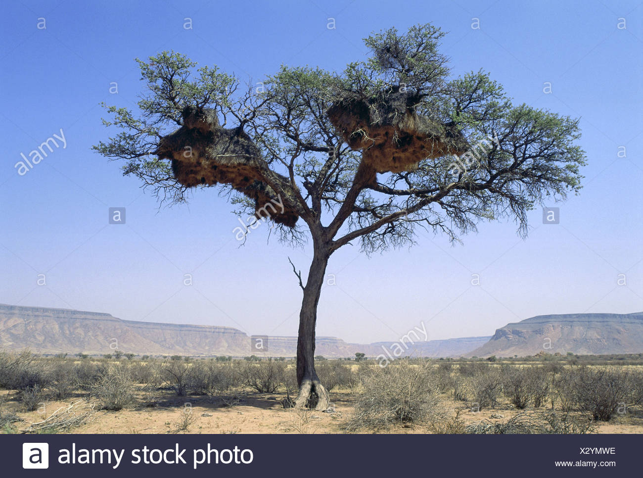 zoology / animals, avian / bird, Widowbirds, (Ploceidae), tree with nests, Namib-Naukluft Park, Namibia, distribution: Africa, Australia, Europe, Asia, Additional-Rights-Clearance-Info-Not-Available - Stock Image