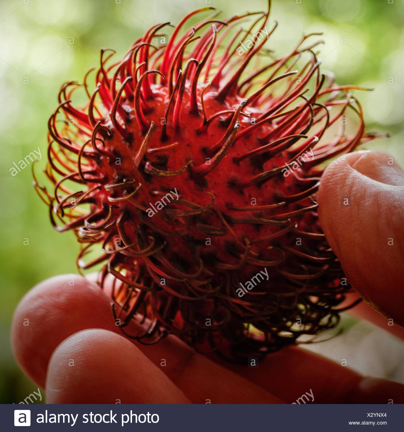 Person holding lychee in spiked shell - Stock Image
