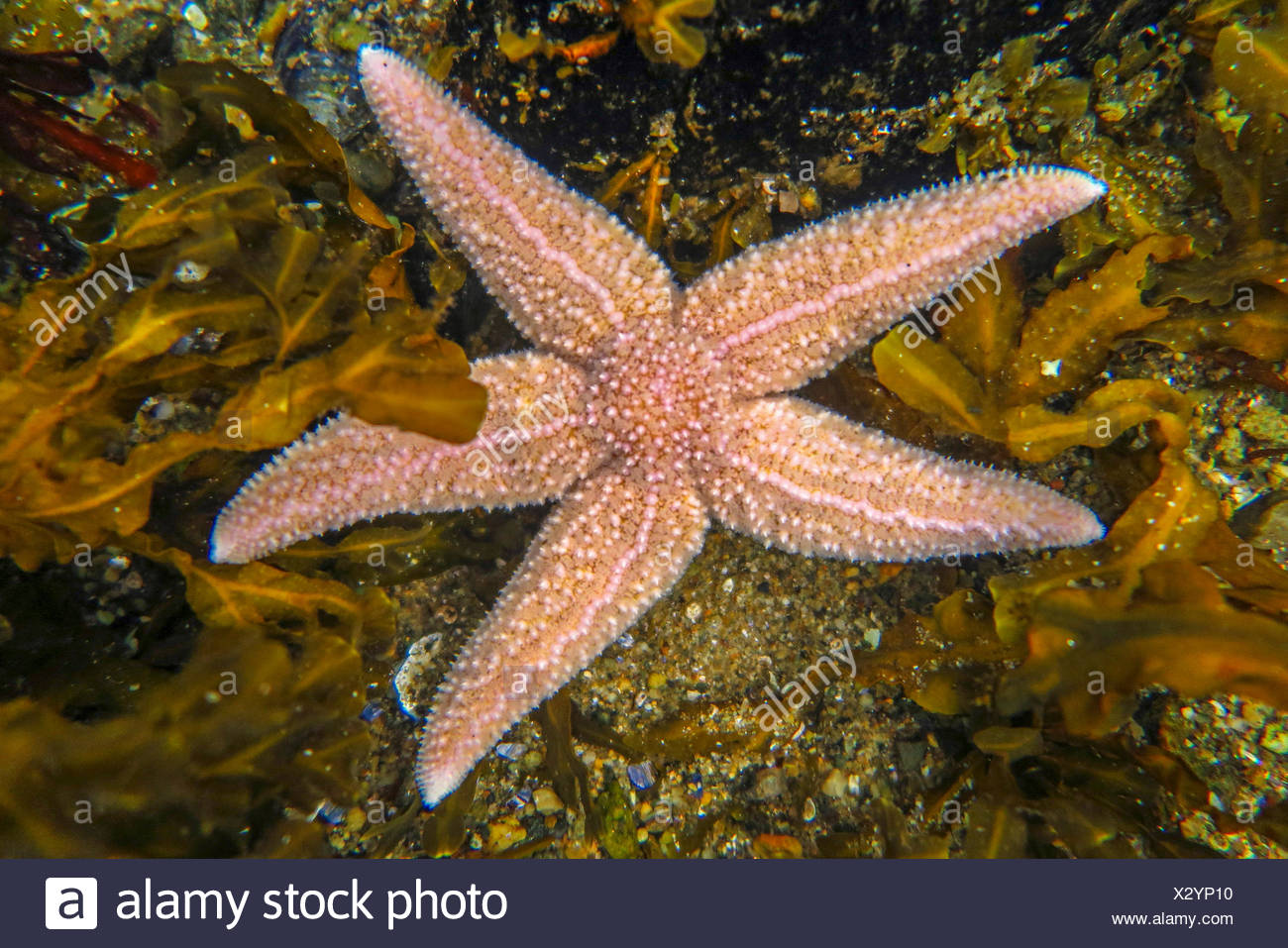 common starfish, common European seastar (Asterias rubens), between seaweeds in shallow water, Norway, Nordland - Stock Image