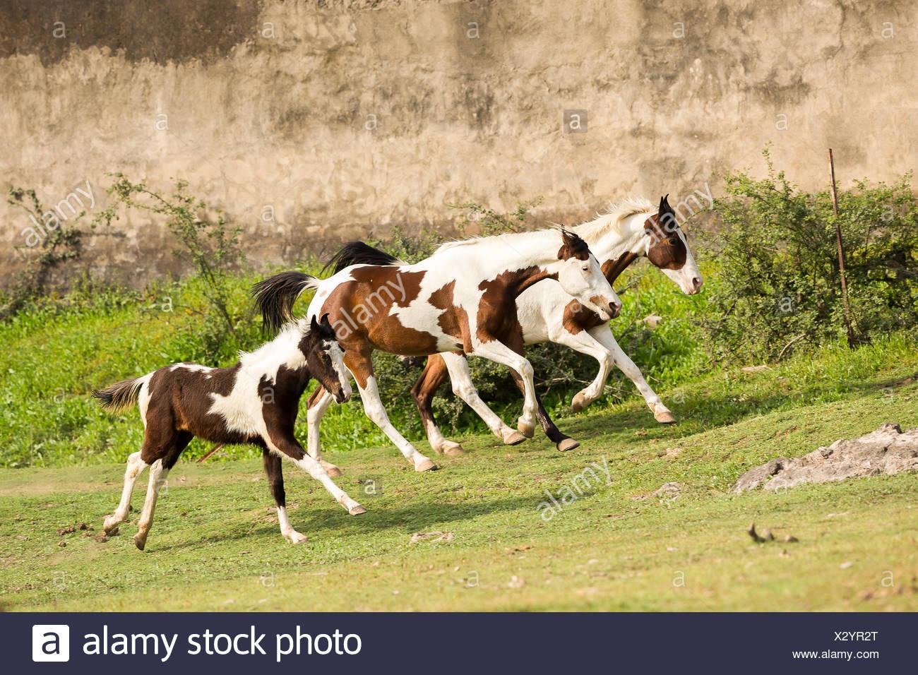 Marwari Horse. Trio of skewbald horses galloping on grass. Rajasthan, India - Stock Image