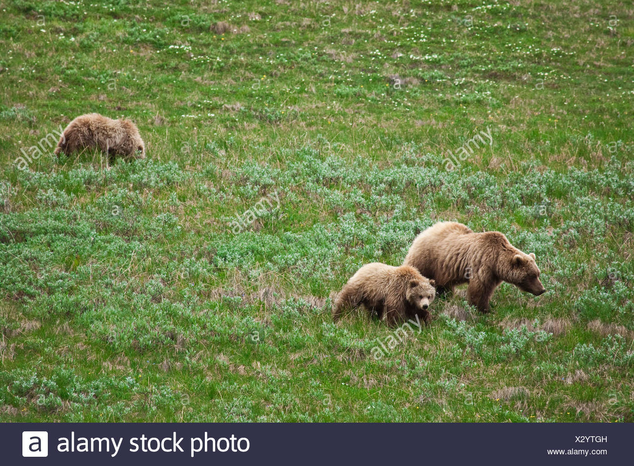 A grizzly sow and two older cubs walk and feed on the tundra in Sable Pass, Denali National Park, Alaska - Stock Image