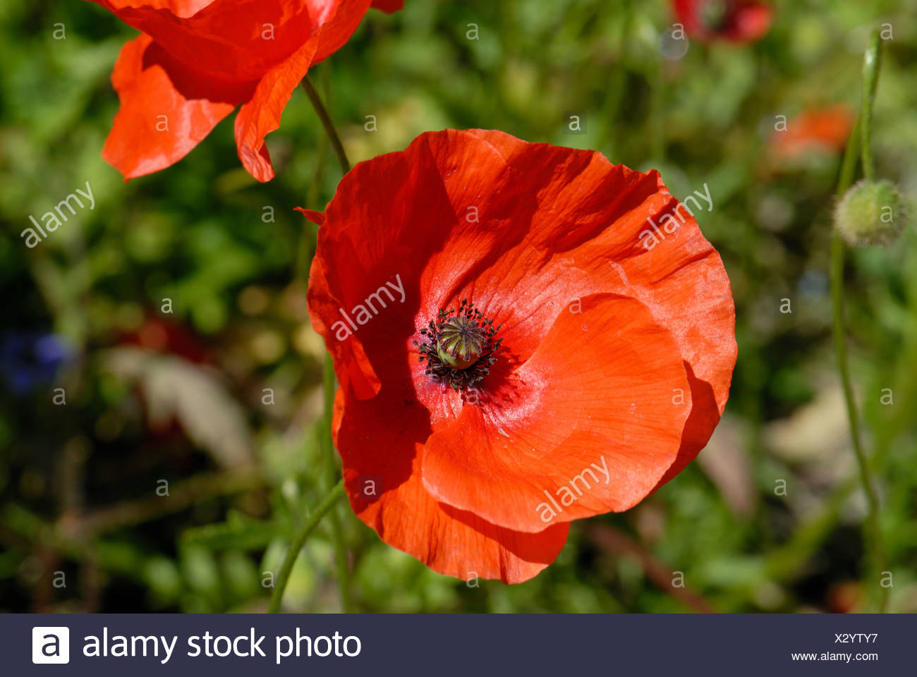 Long headed poppy Papaver dubium flower - Stock Image