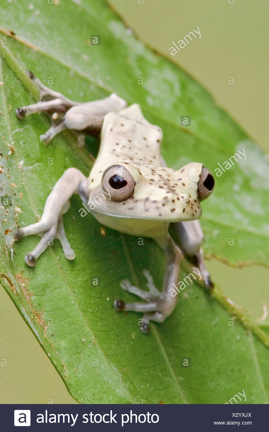 A frog perched on a mossy branch in Amazonian Ecuador. - Stock Image