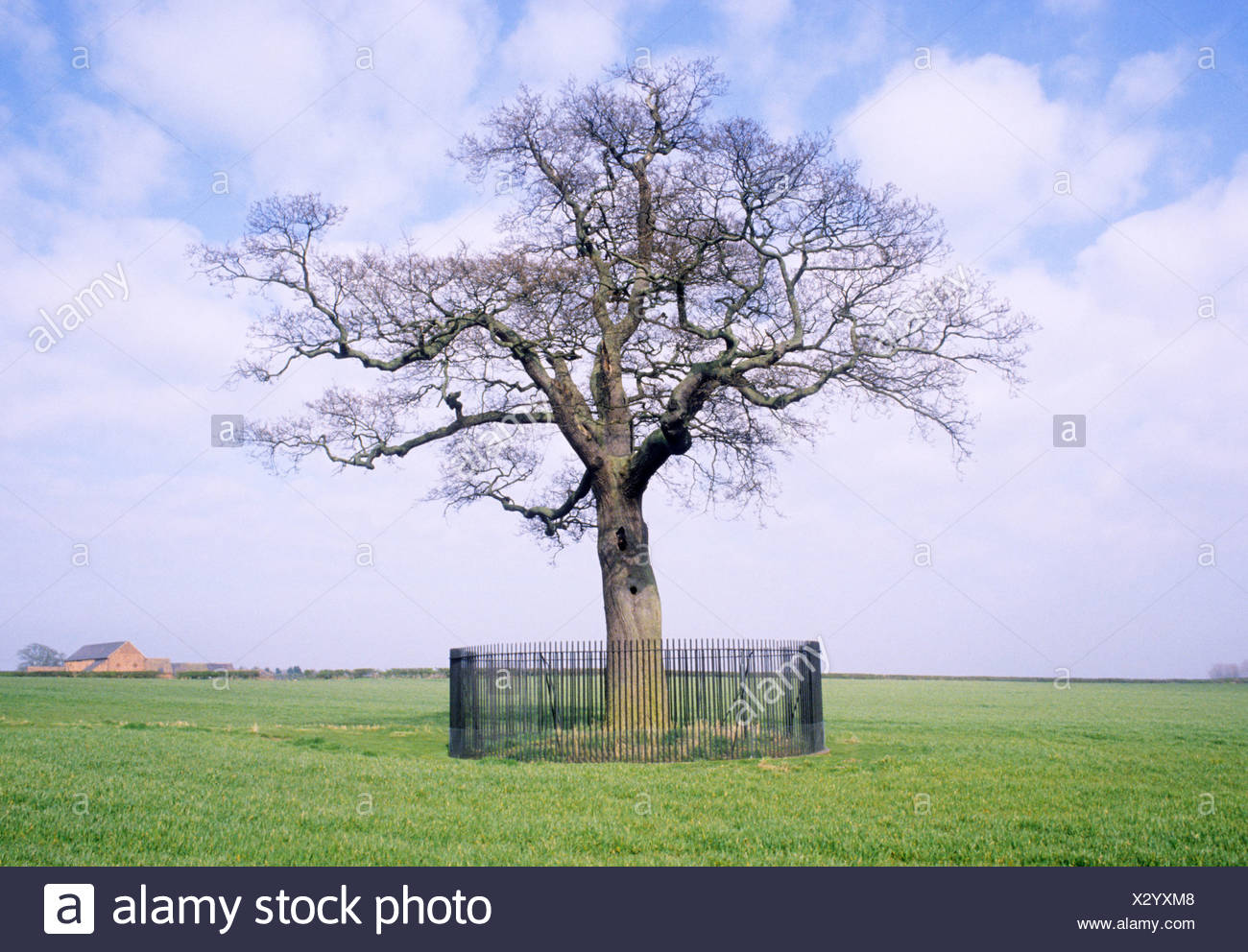 Boscobel Shropshire King Charles Oak Tree England UK - Stock Image