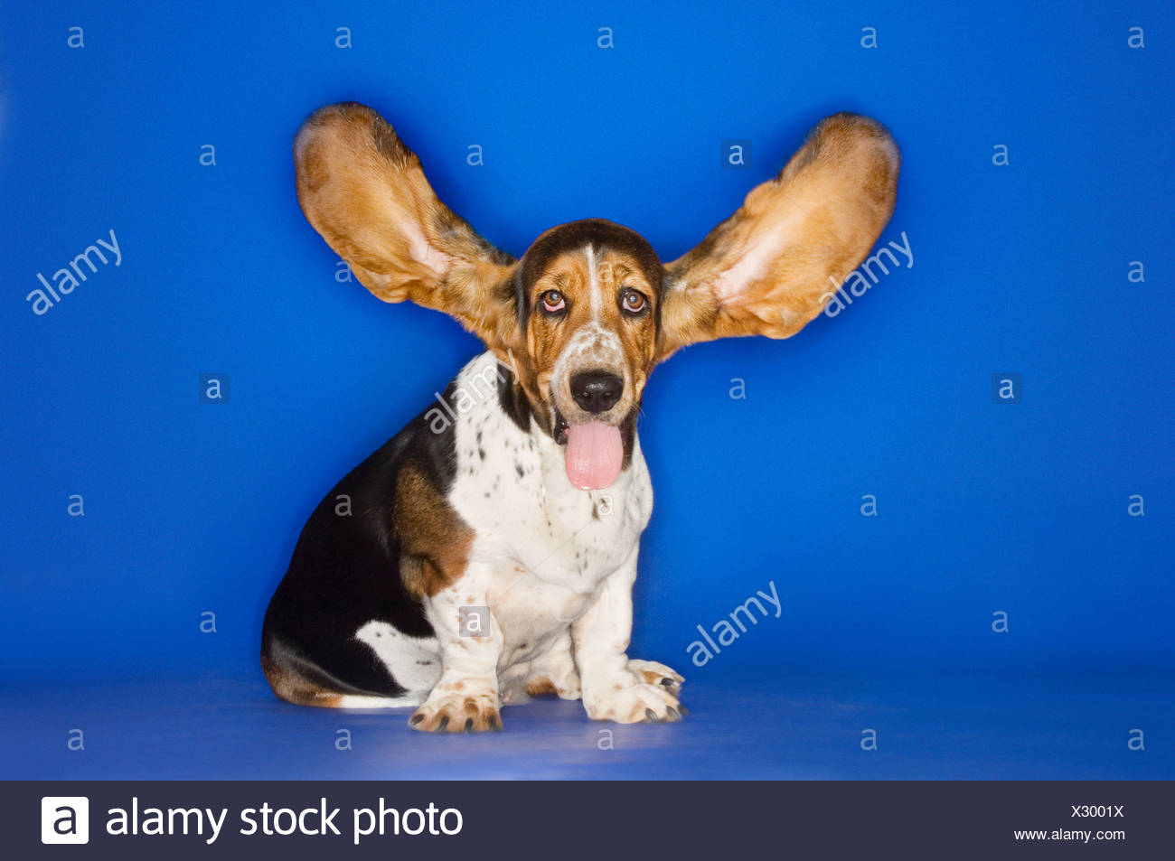 Basset hound with ears extended - Stock Image