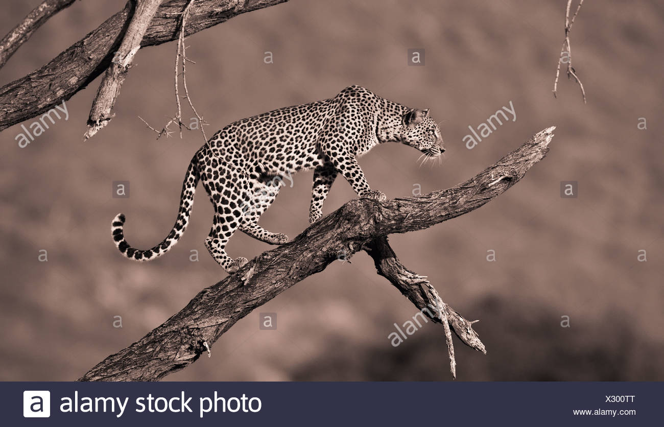 A Leopard (Panthera Pardus) In A Tree; Samburu Kenya - Stock Image