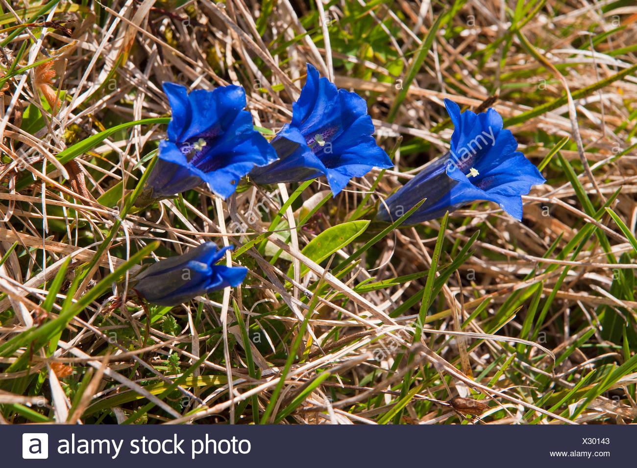 Bavaria, Europe, Germany, flower, mountain flower, gentians, mountain gentian, Clusius gentian, Gentiana clusii, blue, cup, alp, - Stock Image