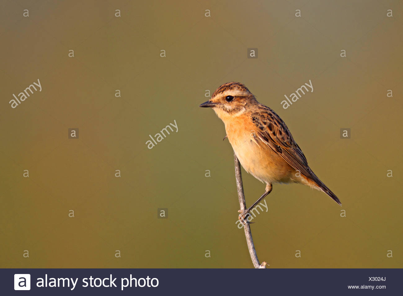 whinchat (Saxicola rubetra), female sitting at a stalk, Greece, Lesbos - Stock Image