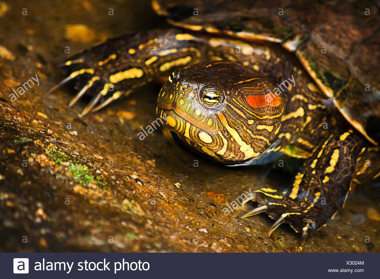 reptile, shell, exotic, turtle, maddening, pert, coquettish, cute, tortoise, - Stock Image
