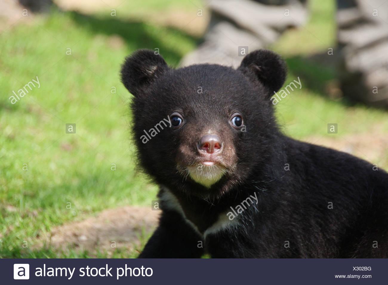 Asian black bear - cub / Ursus thibetanus - Stock Image