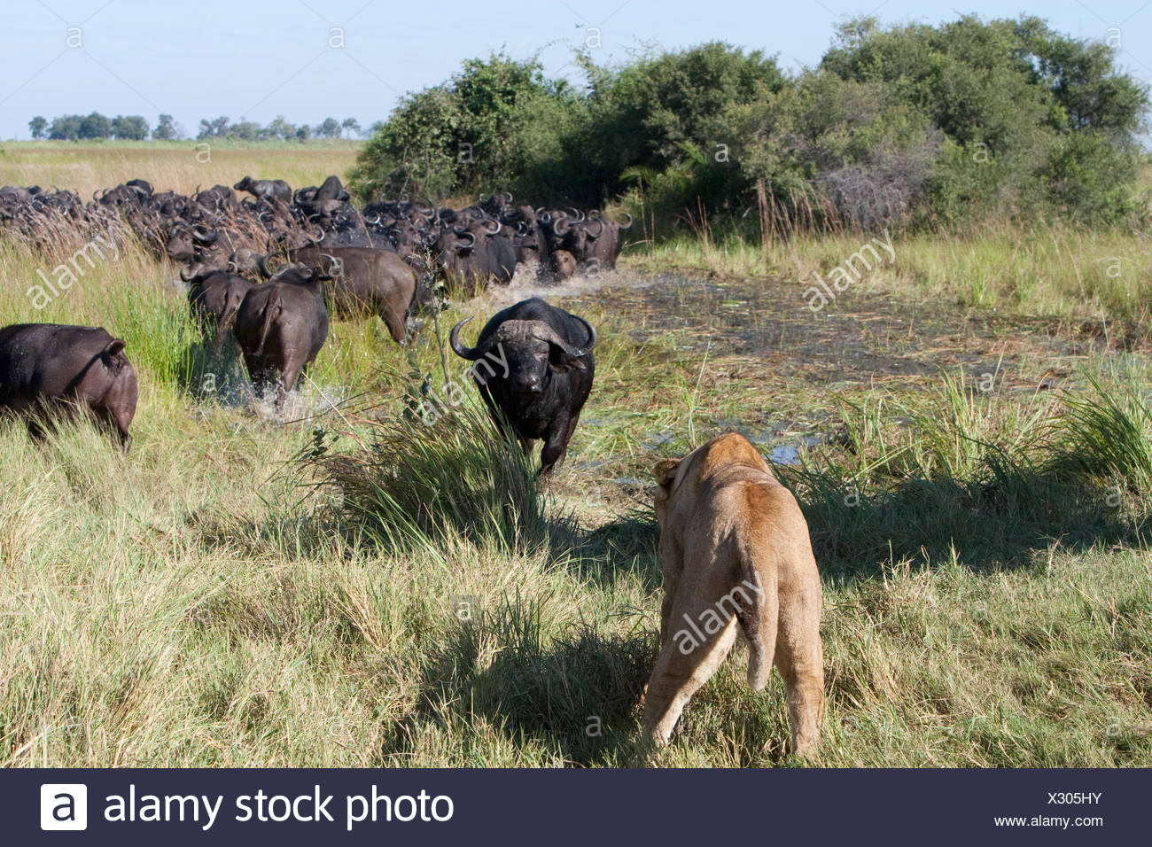 A female South African lion hunting Cape buffalo, Syncerus