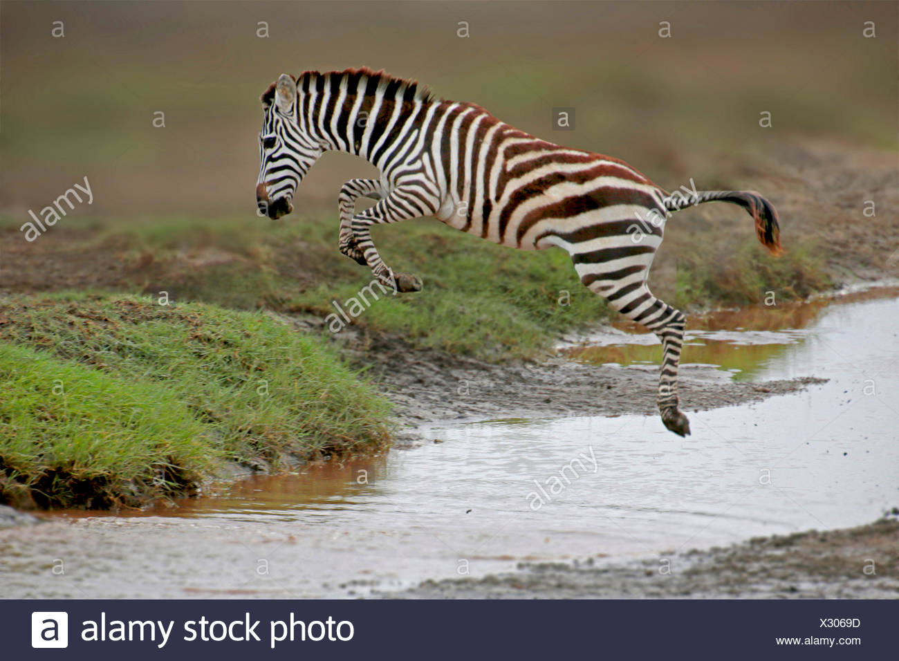 Common Zebra (Equus quagga), jumping over a creek, Tanzania, Serengeti National Park - Stock Image