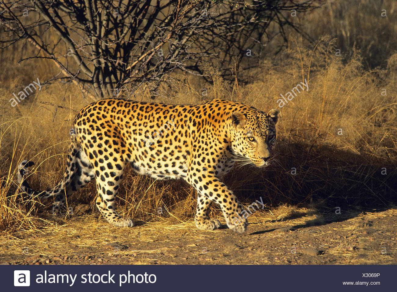 leopard (Panthera pardus), in evening light, Namibia - Stock Image