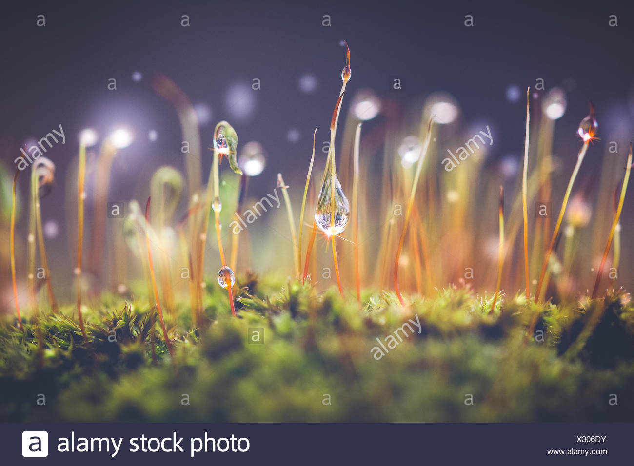 Close-up shot of Morning dewdrops on moss - Stock Image