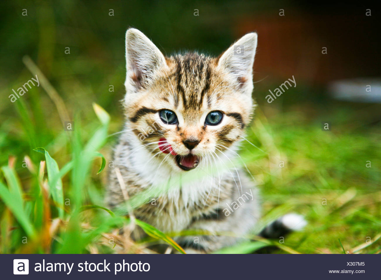 Domestic cat, kitten sitting in the grass Stock Photo