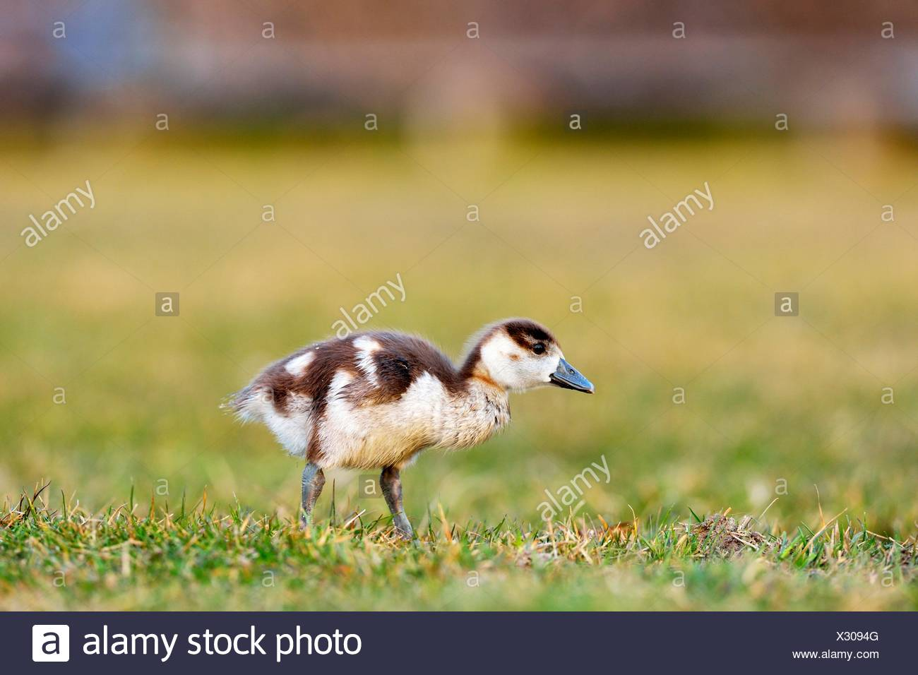 Egyptian goose (Alopochen aegyptiacus) chick, foraging, Zug, Canton of Zug, Switzerland - Stock Image