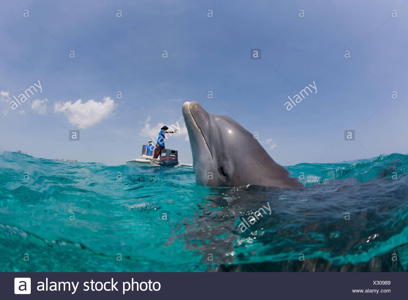 Atlantic bottlenose dolphin. - Stock Image