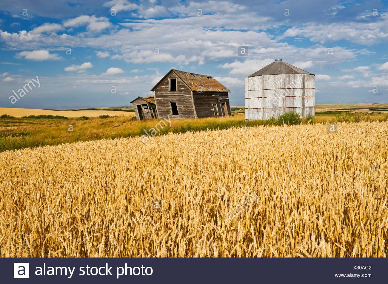 abandoned farm house and grain bin next to wheat field, near Rosetown, Saskatchewan, Canada - Stock Image