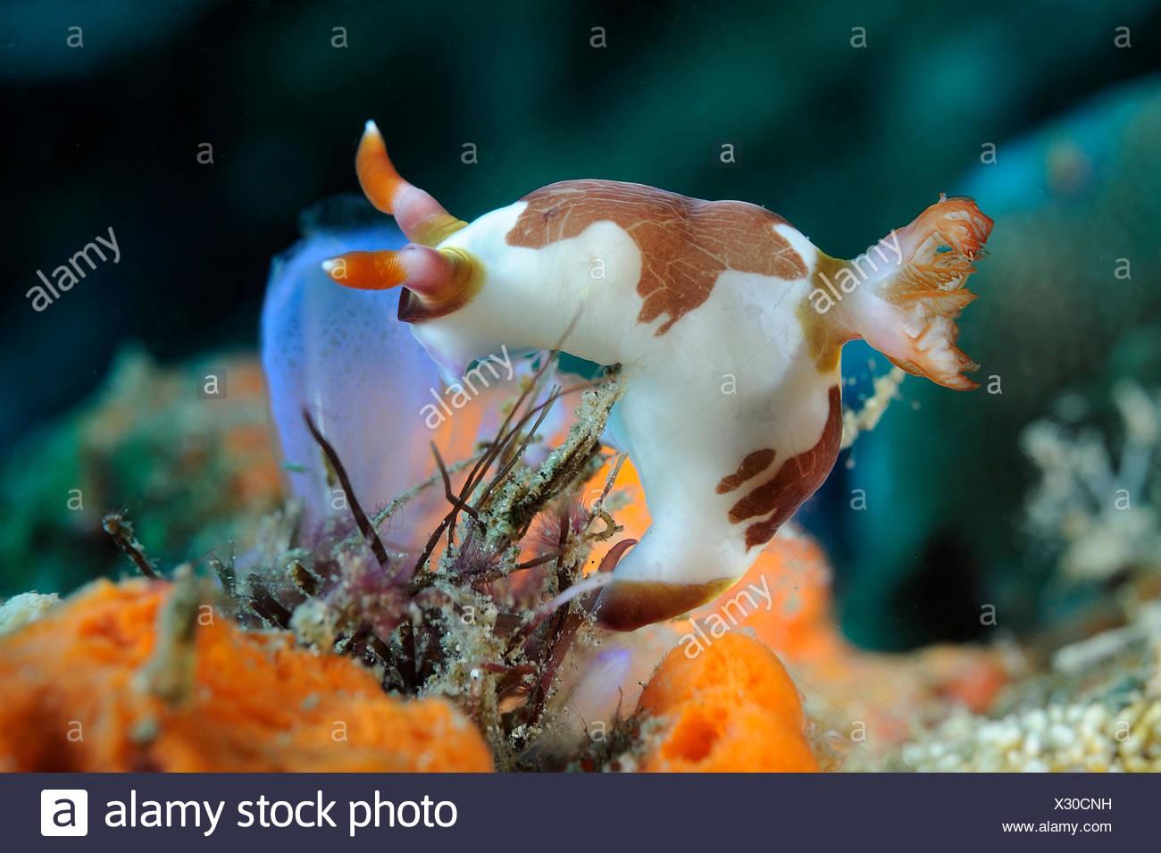 The Nembrotha rutilans is a beautiful slug from Sulawesi - Stock Image