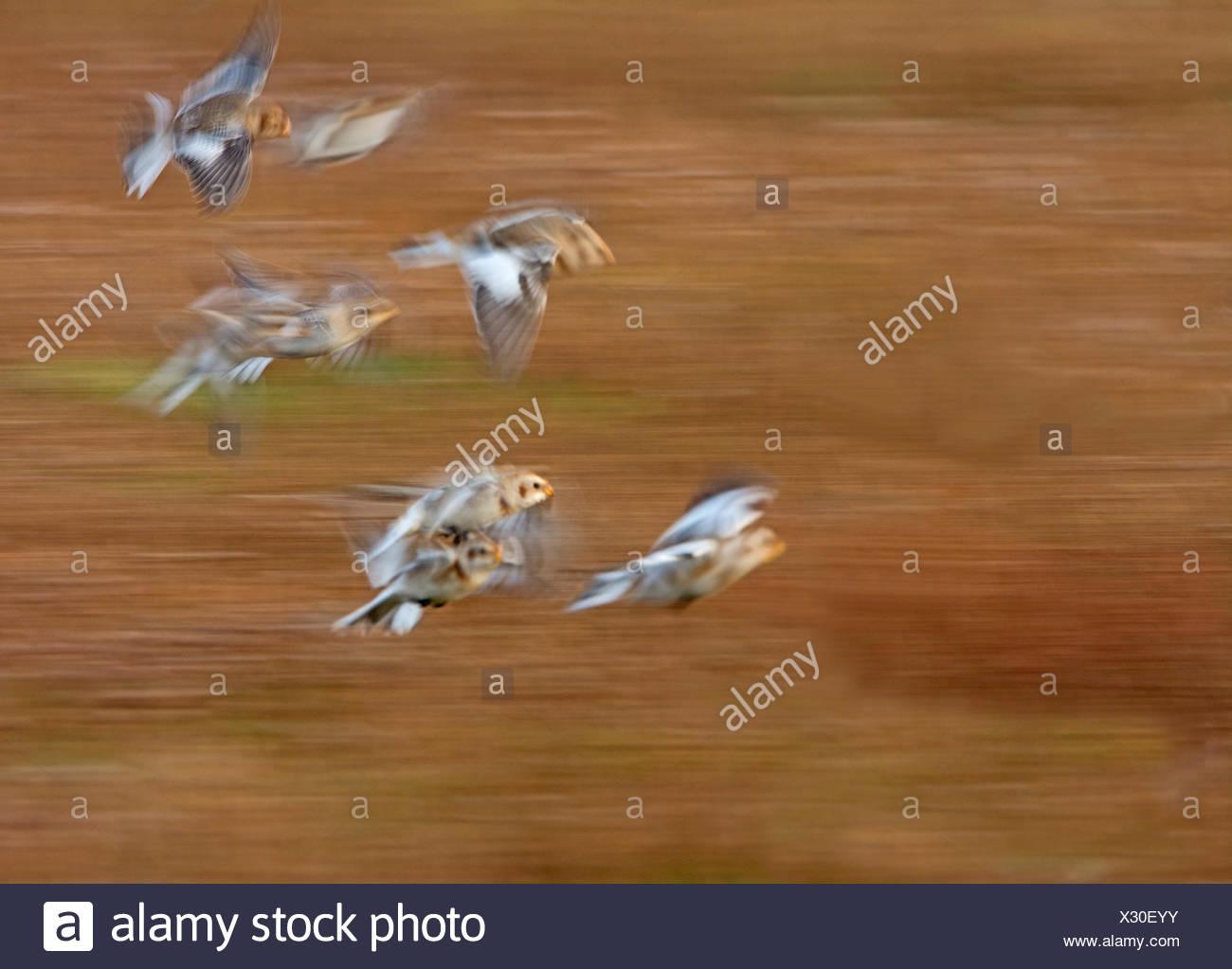 Snow Buntings Plectrophenax nivalis flock Salthouse Norfolk winter - Stock Image