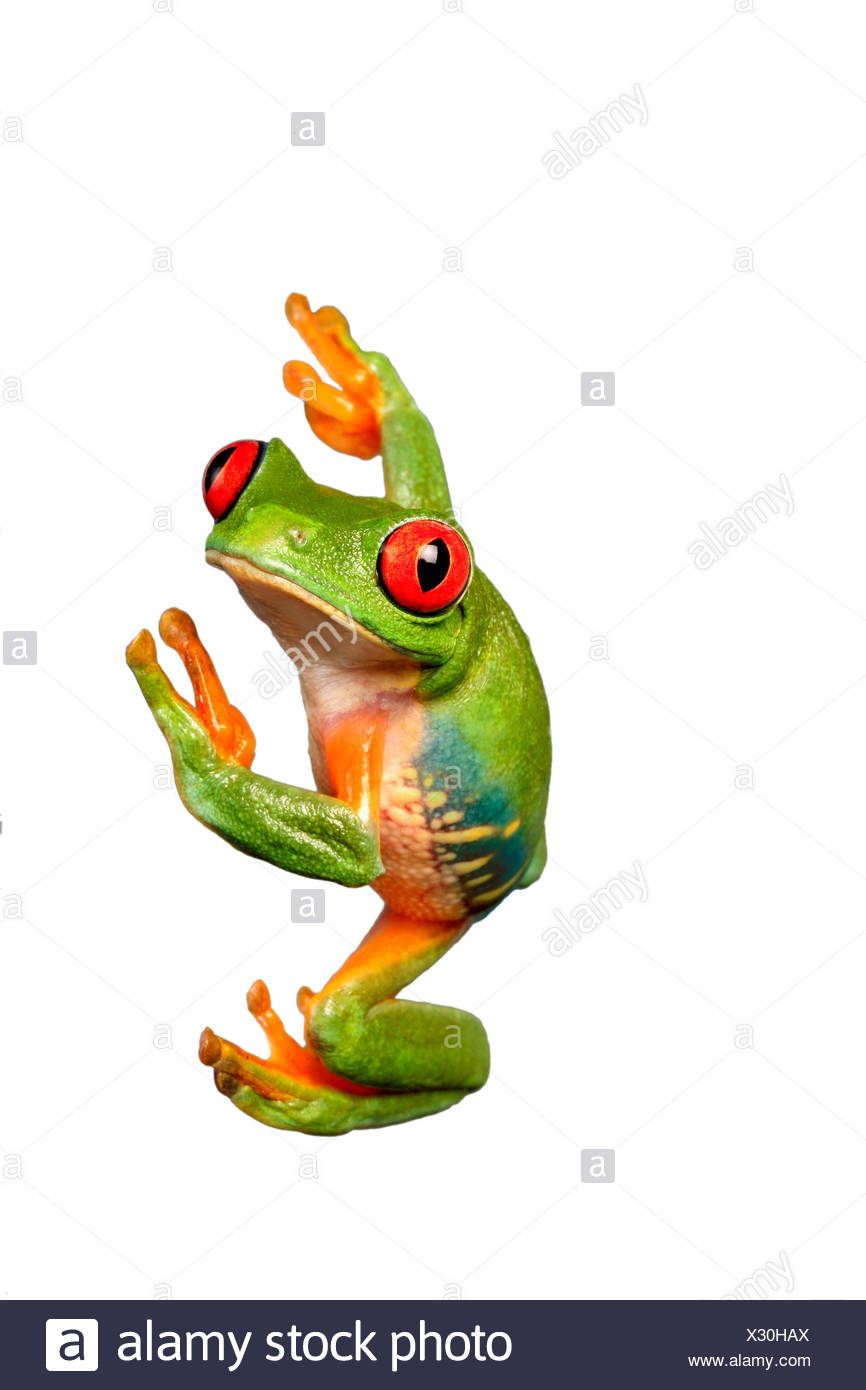 Agalychnis callidryas, red-eyed treefrog, redeyed treefrog, redeye treefrog, red eye treefrog, red eyed frog Stock Photo