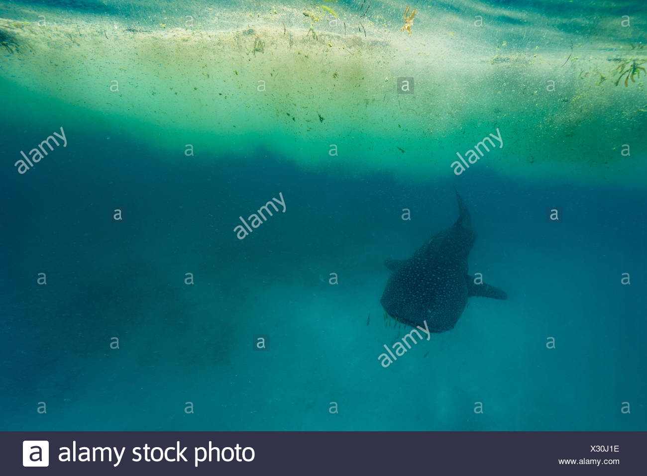 A whale shark swims underneath a patch of Trichodesmium algae. - Stock Image