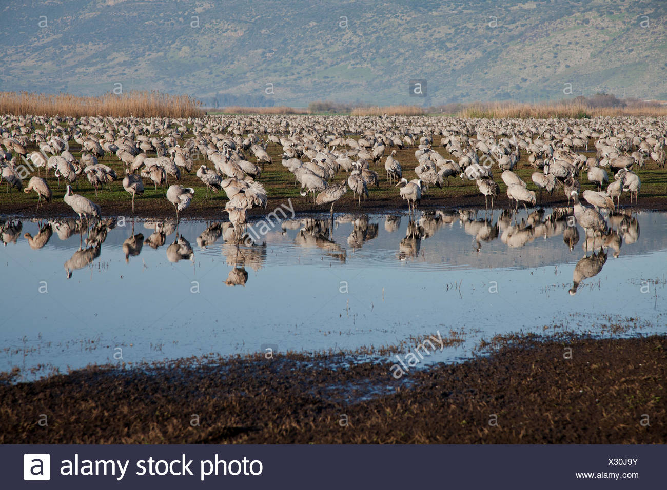 Common Crane (Grus grus) a flock in wetland, hula valley, israel. Large migratory crane species that lives in wet meadows and ma - Stock Image