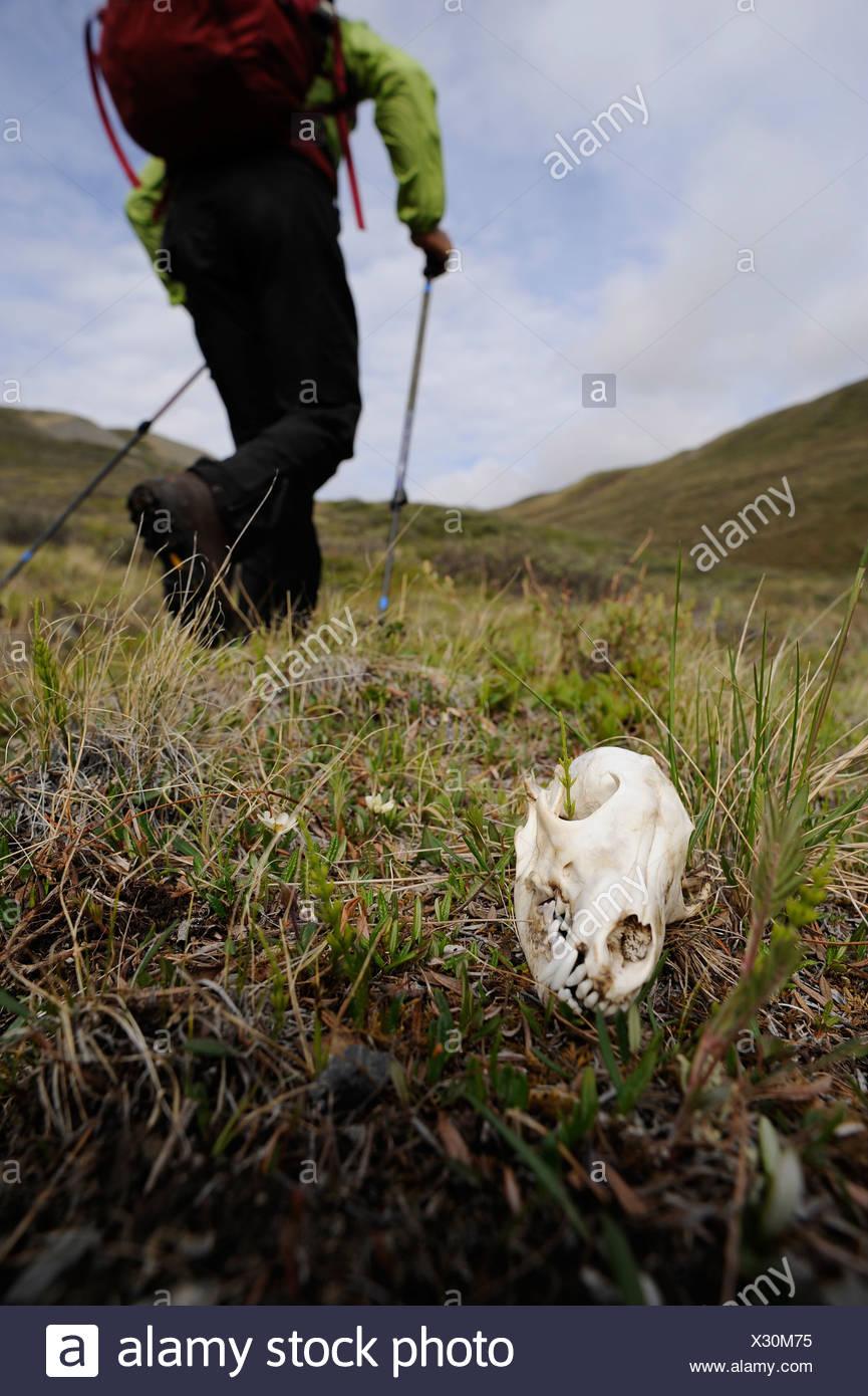 Hiker on the tundra walks by a wolf skull along Katak Creek, Brooks Range, ANWR, Arctic Alaska, Summer - Stock Image
