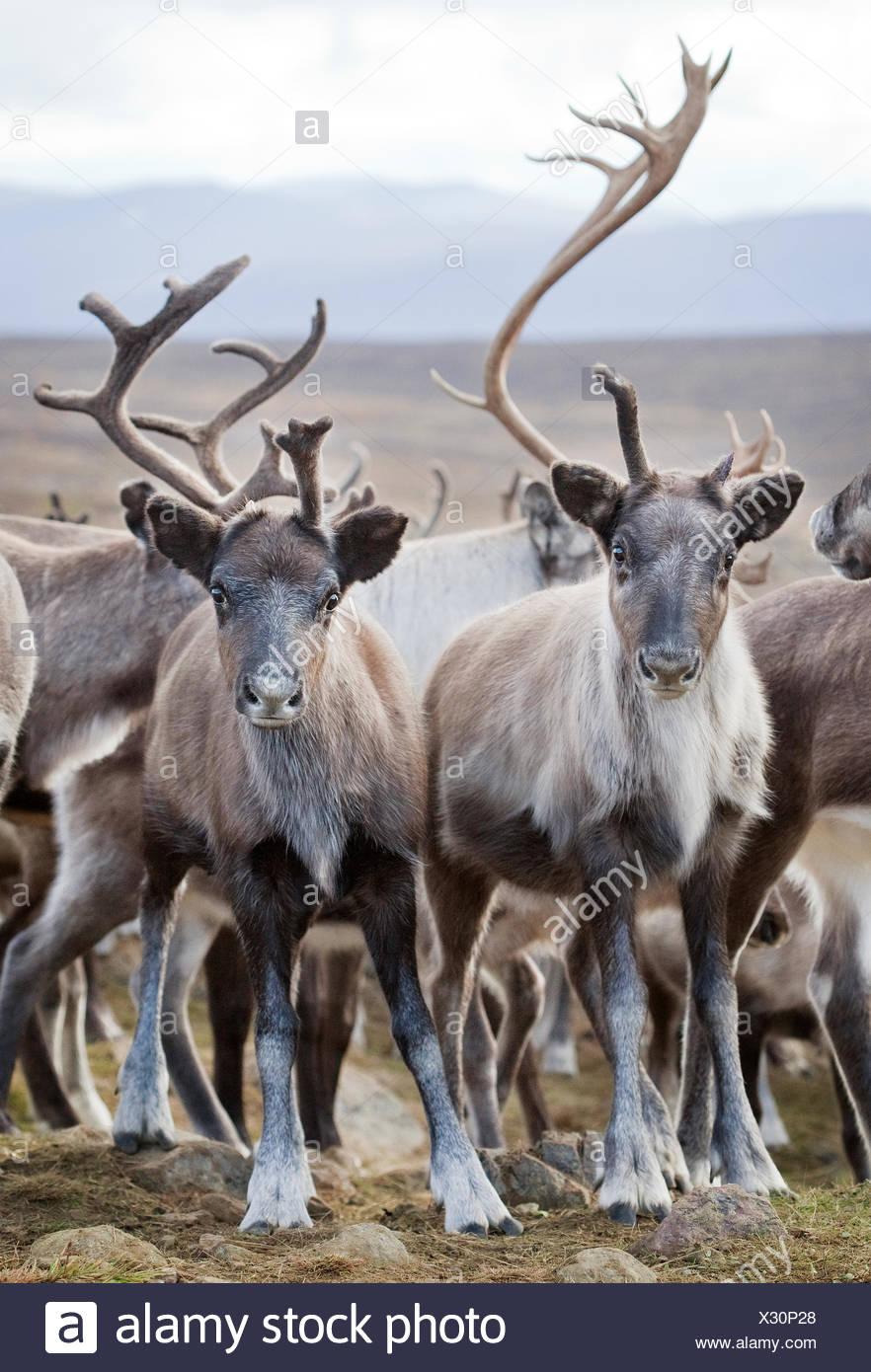 Sweden, Lapland, Levas, Herd of reindeer (Rangifer tarandus) in wild - Stock Image