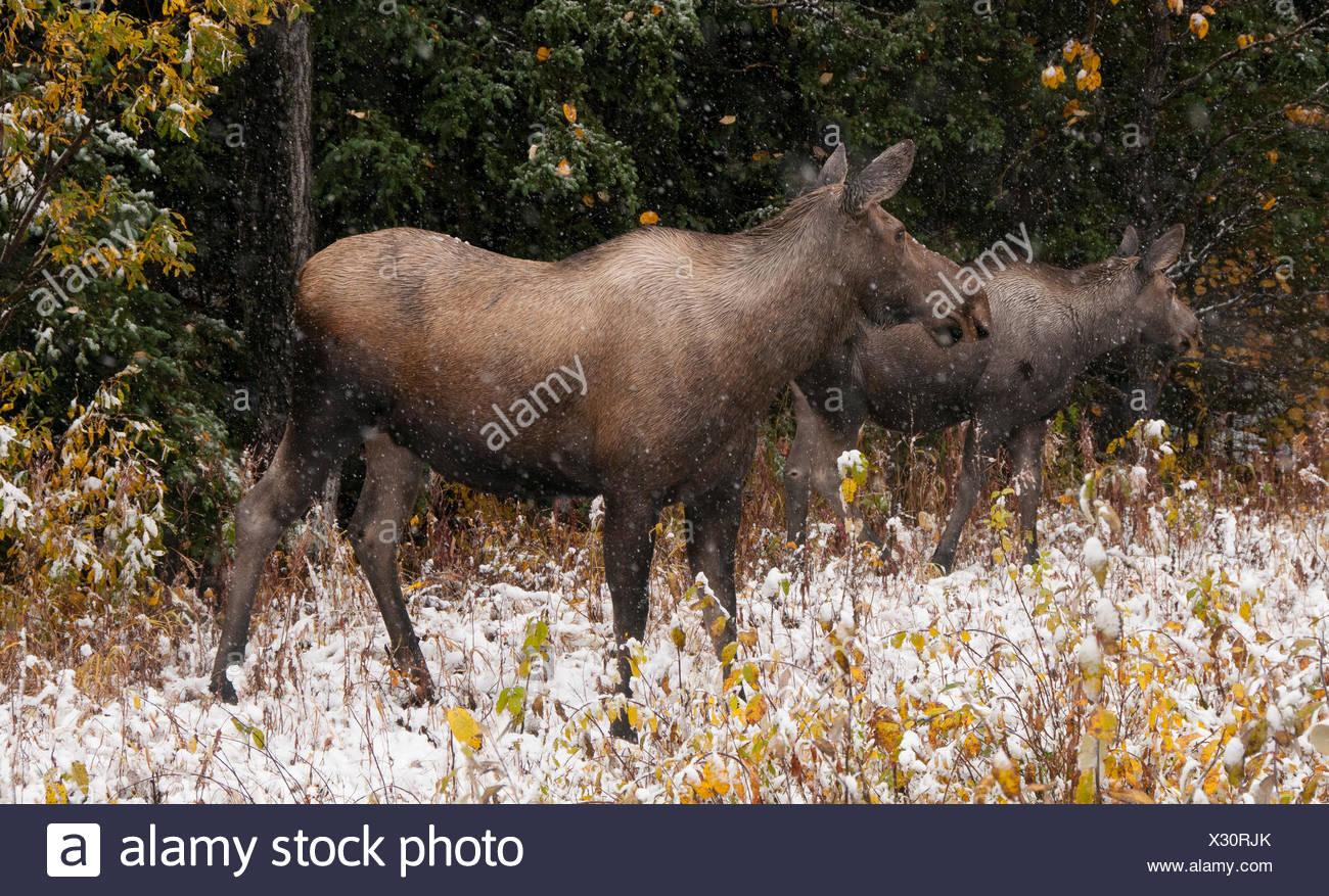 Cow moose and calf standing in autumn vegetation with first snows starting to fall. (Alces alces). Alaska, North America. - Stock Image