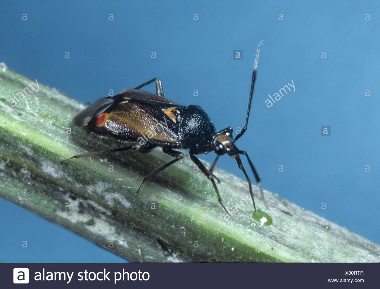 Capsid Bug - Deraeocoris ruber - Stock Image