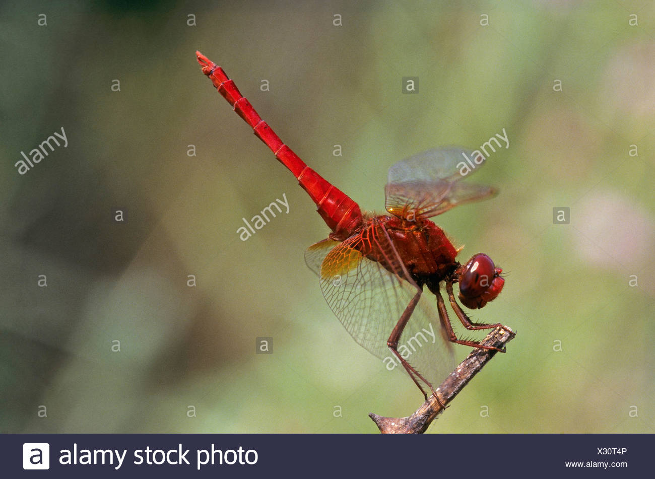 Broad Scarlet, Common Scarlet-darter, Scarlet Darter, Scarlet Dragonfly (Crocothemis erythraea, Croccothemis erythraea), male sitting at a dry stem, Germany Stock Photo