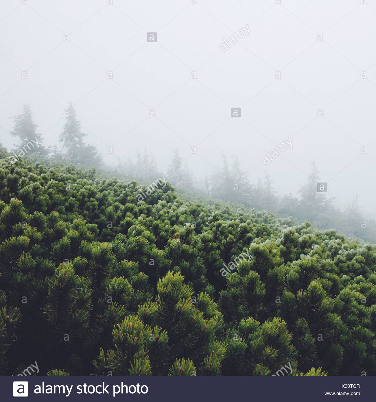 Pine tree in fog - Stock Image