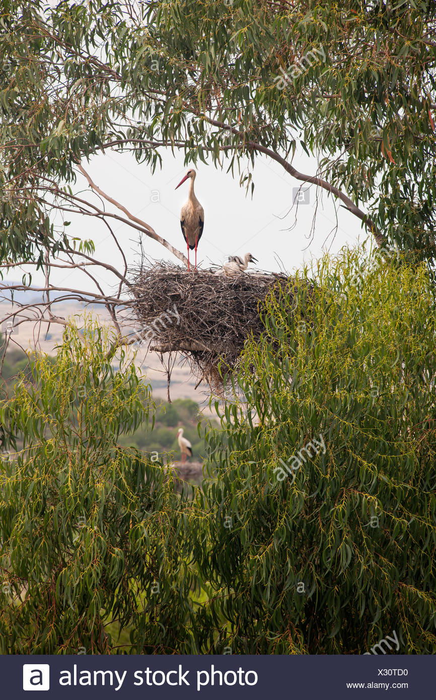 A white stork perched on a nest in the branches of a tree. - Stock Image