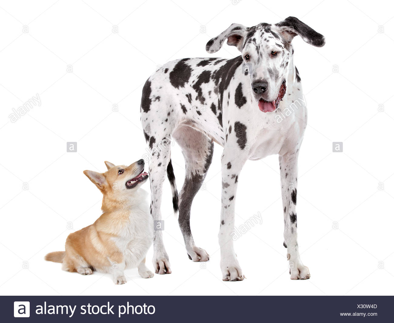 Harlequin Great Dane and aPembroke Welsh Corgi dog - Stock Image