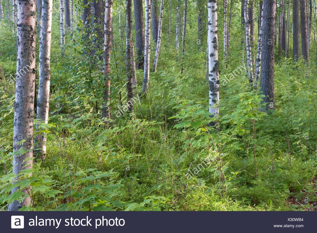 Silver Birch woodland, Betula pendula and ferns, Kangasala, Finland - Stock Image