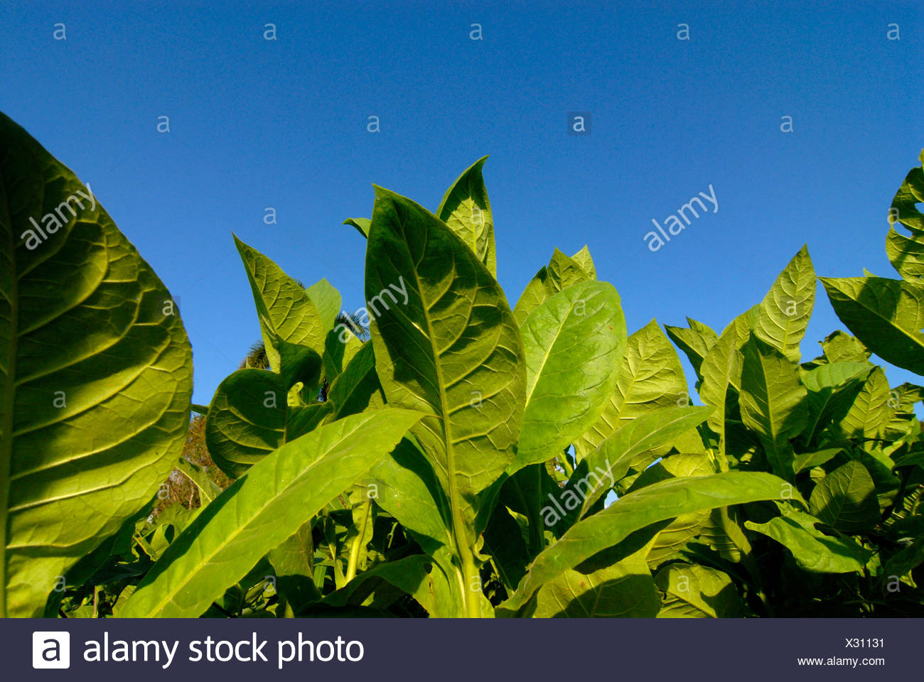 Tobacco leaves, tobacco field in Pinar del Rio, Cuba, Caribbean - Stock Image