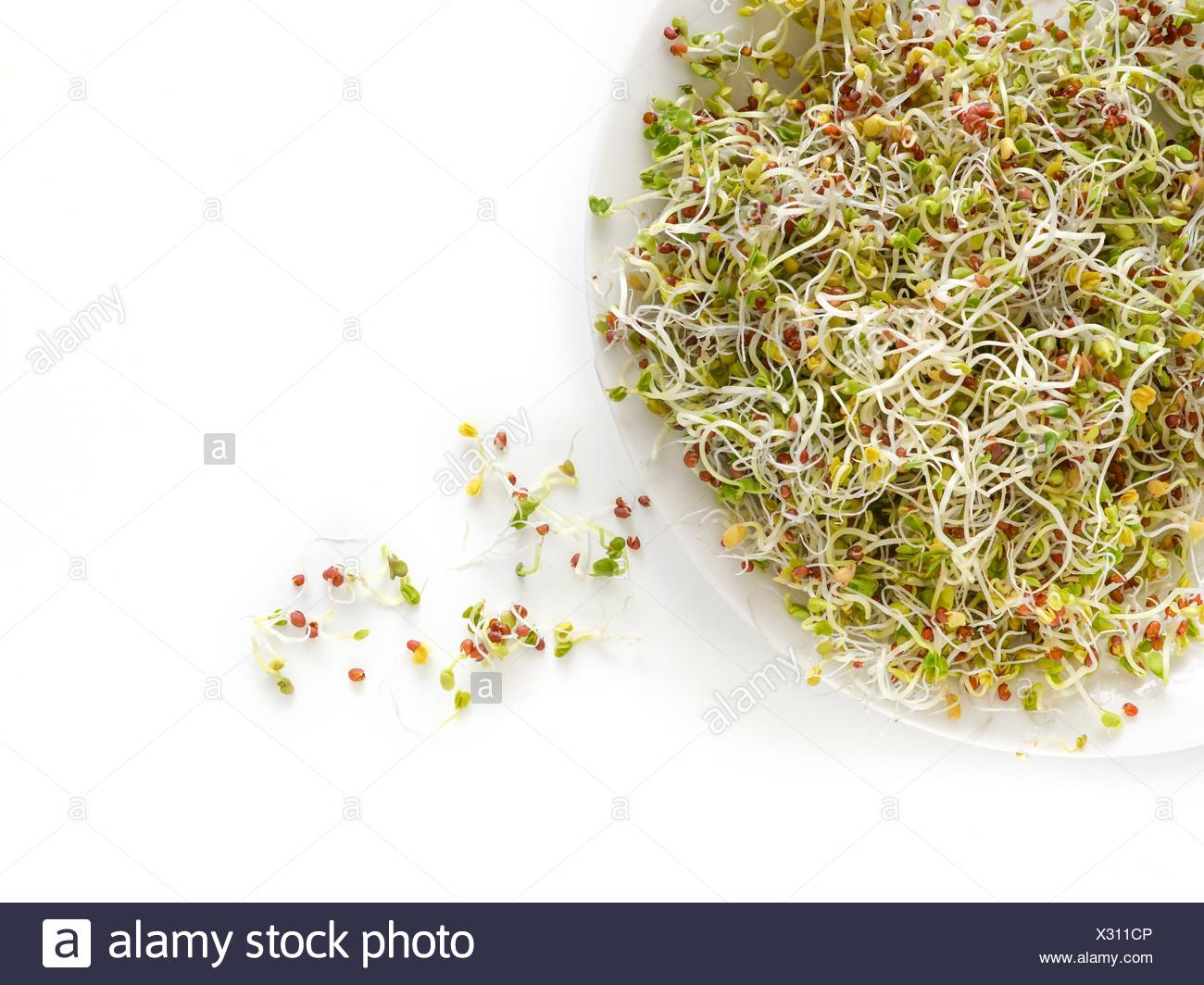 Sprouting brown mustard seeds on a dish. - Stock Image