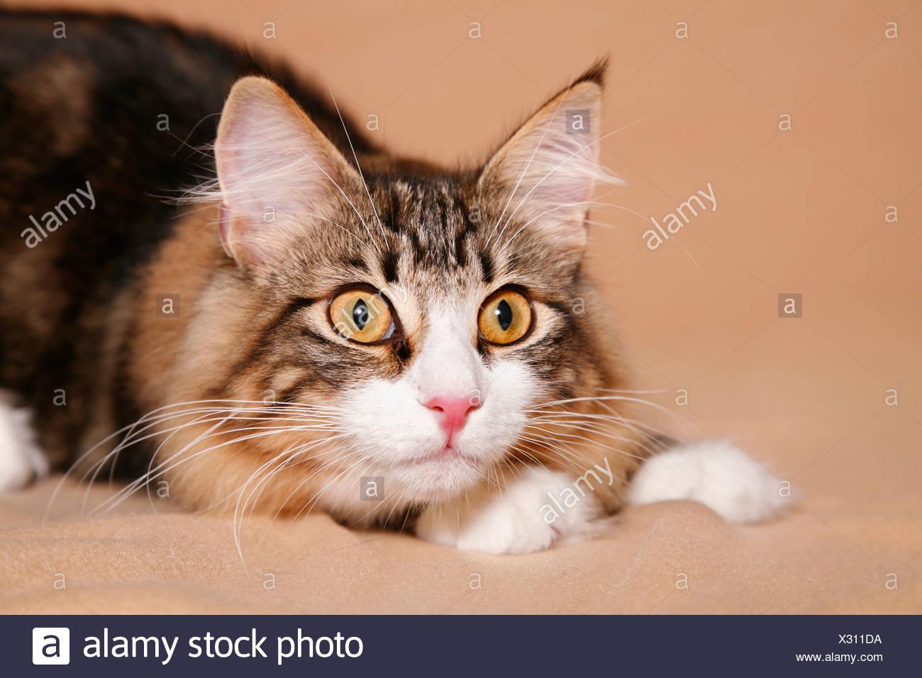 Norwegische Waldkatze / norwegian forest cat - Stock Image