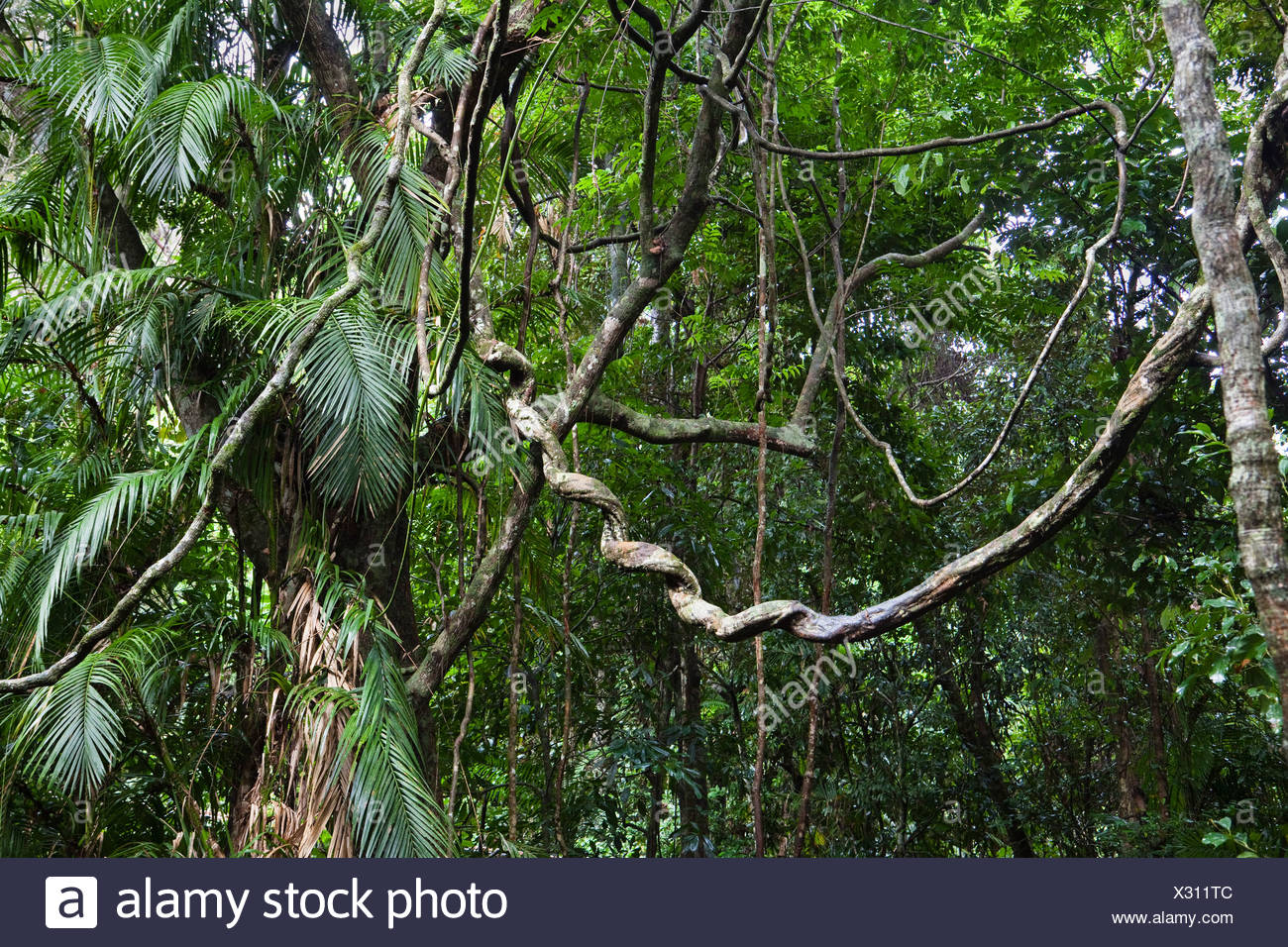 Lianas in the rainforest, Daintree National Park, North Queensland, Australia - Stock Image